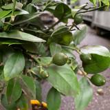 Lemon Tree - 'Citrus Lemon'