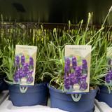 Lavender 'Hidcote' (Lavandula).
