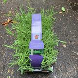 Lavender 'Hidcote' 6 pack (Lavandula).