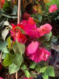 Bougainvillea Piramade 'Ton sur Ton' - Pink
