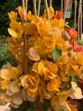 Bougainvillea Piramade 'Ton sur Ton' - Yellow