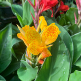 Canna Lily - Yellow