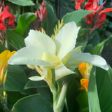 Canna Lily - White