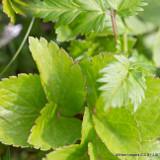 Ligusticum scoticum