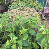 Trailing Fuchsia  - 9cm pot