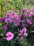Dianthus 'Shirley Temple'