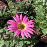 Arctotis 'Pink Sugar'