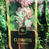 Clematis 'Pink Passion'
