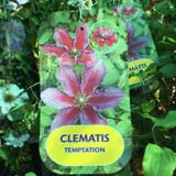 Clematis 'Temptation'