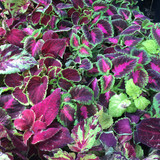 Coleus, mixed colours