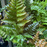 Dryopteris erythrosora 'Brilliance' (Fern)