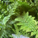 Polystichum setiferum (Fern)