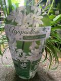Agapanthus 'Summer Love White'