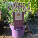 Lavender 'Anouk' (Lavandula) Medium