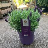 Lavender 'Anouk' (Lavandula) Large