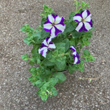 Large Petunia - 'Blue with White Stripe'