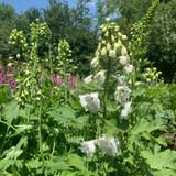 Delphinium 'Pure White'