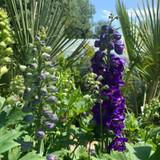 Delphinium 'Dark Blue wit Black Bee'