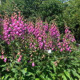 Digitalis mertonensis 'Summer King' (Foxglove)