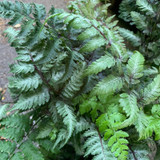 Athyrium nipponicum 'Red Beauty' (Fern)