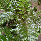 Polystichum polyblepharum (Fern).