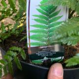 Dryopteris wallichiana (Fern)