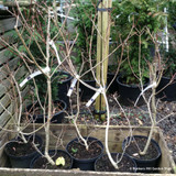 Cotinus 'Royal Purple' - 10L