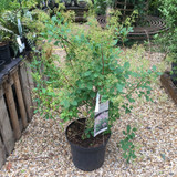 Cotinus coggygria 'Young Lady' - 12ltr pot