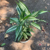 Silver Variegated Houseplant -  Dracena