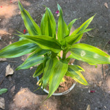 Golden Dracena - Houseplant