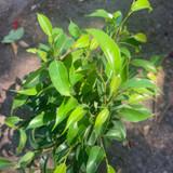 Green Fiscus Benjamina - Houseplant
