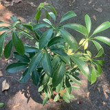 Variegated Umbrella Plant - Houseplant
