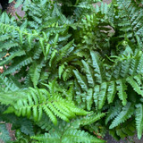 Dryopteris filix-mas (Fern),