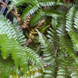 Dryopteris erythrosora 'Brilliance' (Fern).