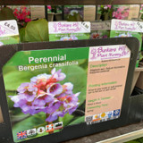 Bergenia crassifolia 1ltr pot