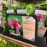 Bergenia purpurascens 1ltr pot