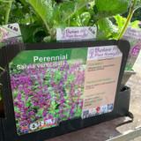Salvia verticillata 'Purple Rain' 1ltr
