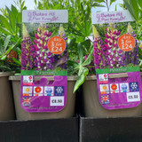Lupin 'Gallery Blue' (Lupinus) 3ltr pot