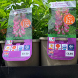 Lupin Gallery Pink-White (Lupinus) 3ltr pot