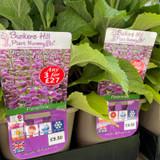 Digitalis Purpurea 'Camelot Rose' (Foxglove) 3ltr pot