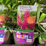 Lupin 'Gallery Pink' (Lupinus) 3ltr pot