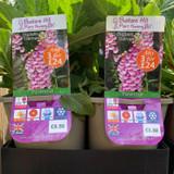 Digitalis Purpurea 'Dalmation Rose' (Foxglove) 3ltr pot
