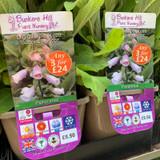Digitalis Purpurea 'Suttons Apricot' (Foxglove) 3ltr pot