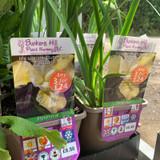 Iris Sibirica 'Butter & Sugar' 3ltr pot