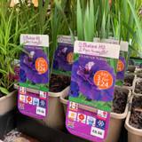 Iris Sibirica 'Kaboom' 3ltr pot