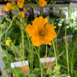 Geum 'Lady Stratheden' 3ltr pot