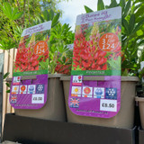 Lupin 'Gallery Red' (Lupinus) 3ltr pot