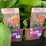 Digitalis Purpurea 'Camelot Lavender' (Foxglove) 3ltr pot