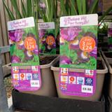 Iris Sibirica 'Pleasures of May' 3ltr pot