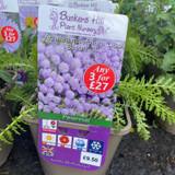 Achillea millefolium 'Lilac Beauty' 3ltr pot